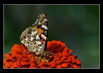 Пеперуди 1