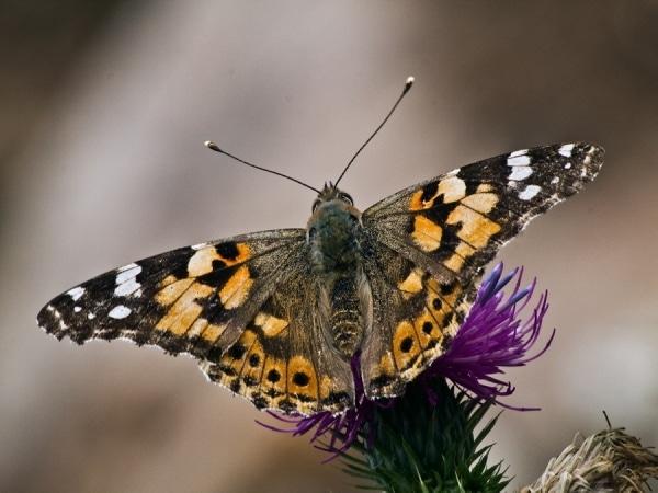 Пеперуди 3
