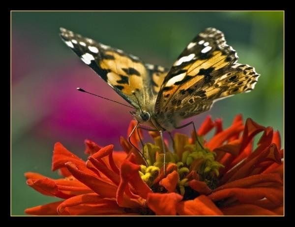 Пеперуди 4