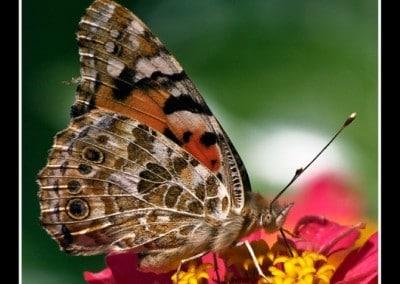 Пеперуди 9