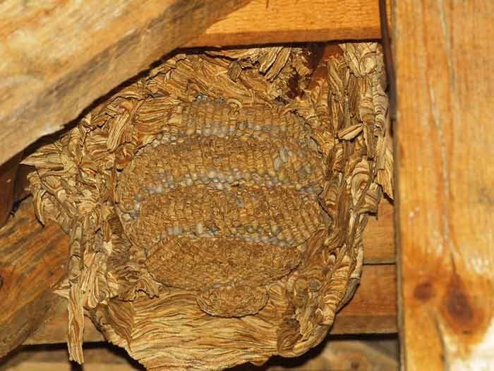 Цяло гнездо