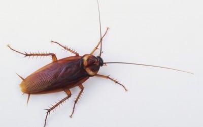 Как да се отървем от хлебарките у дома