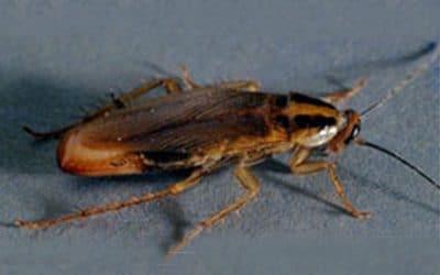 Германска хлебарка