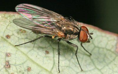 Малка домашна муха