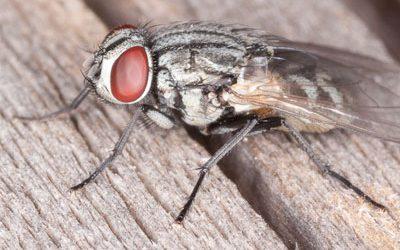 Зимуващи видове мухи