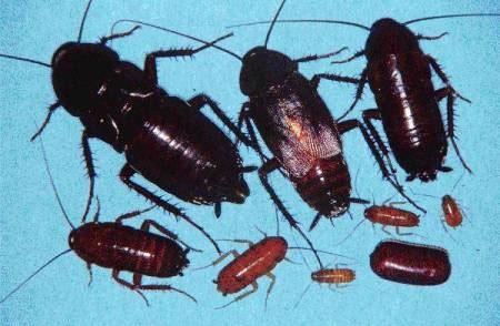 Как да се отървем трайно от хлебарките у дома