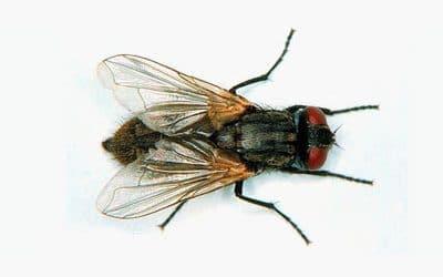 Синантропни мухи